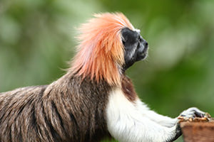 Cotton-top Tamarin with Died Hair