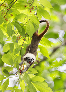 Cotton-top Tamarin Eating Berries