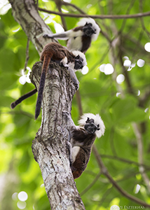Cotton-top Tamarin Family Group