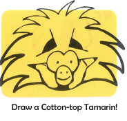 Draw a Cotton-top Tamarin!